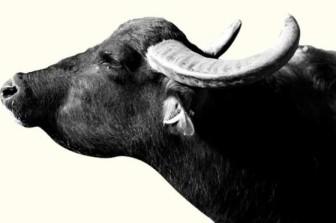 bufale ne abbiamo
